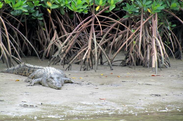 Auf dieser Reise haben Sie gleich mehrere Möglichkeiten, Krokodile zu sichten - aus sicherer Entfernung versteht sich