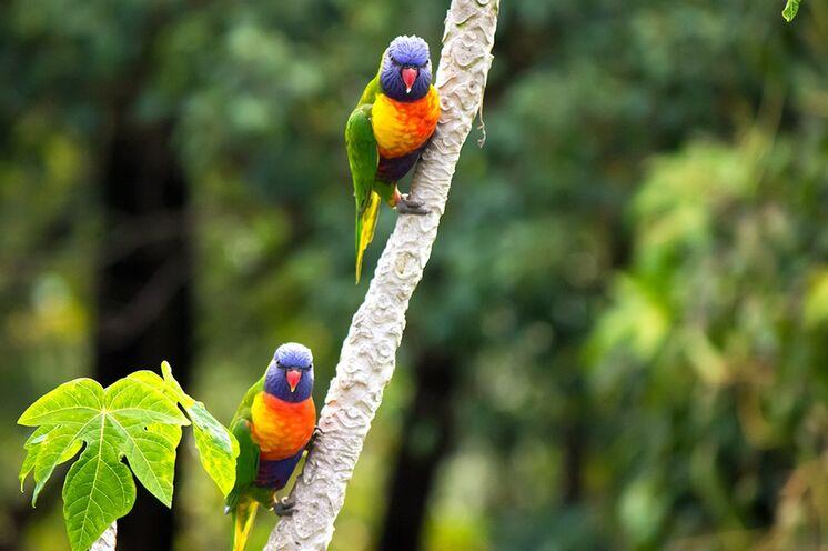 Putzige Regenbogen-Loris sind im Regenwald des tropischen Queensland zu Hause