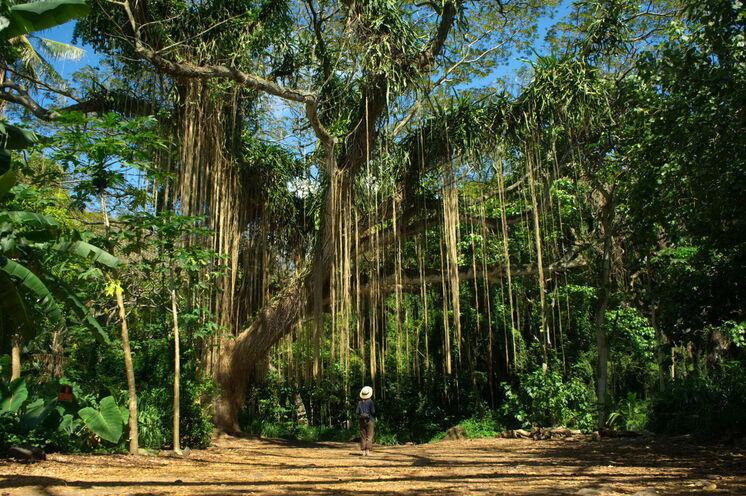 Maui, die dritte Insel Ihrer Reise, setzt sich aus zwei riesigen, ruhenden Schildvulkanen zusammen (hier zu sehen: ein majestätischer Banyanbaum)