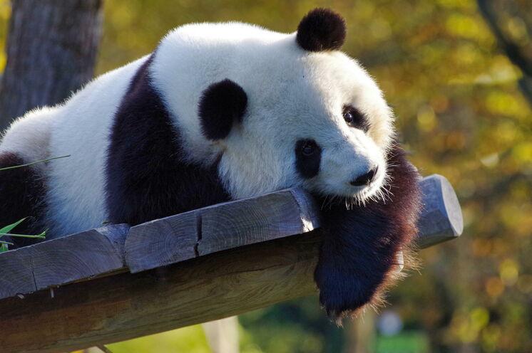 Im Jahr 1987 mit sechs Tieren aus der Umgebung begonnen, besitzt die die Aufzuchtstation für Pandabären in Chengdu mittlerweile über 120 Tiere