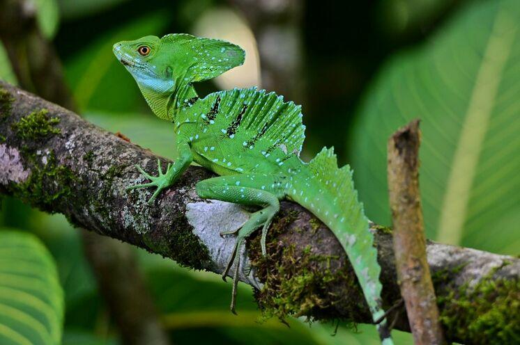 Unterwegs zwischen Leguan, Gecko und Stirnlappenbasilisk (Foto: Roland Lubiger)