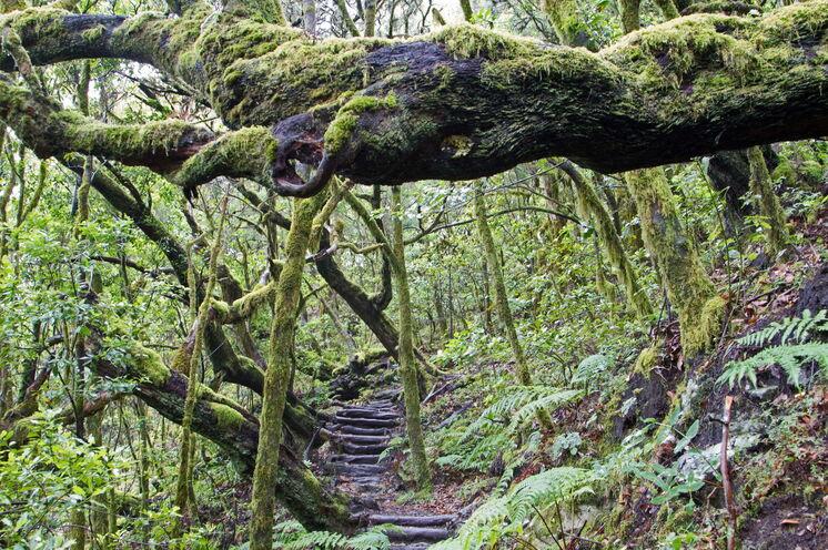 Der verwunschene Lorbeerwald im Nationalpark Garajoney erscheint besonders mystisch, wenn er von Nebelschwaden umhüllt ist (UNESCO-Weltnaturerbe)