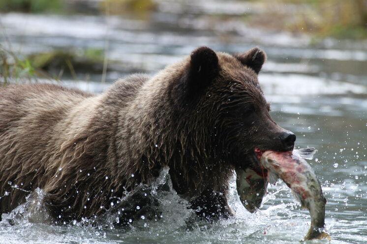 """""""Wo der Bär mit dem Lachs tanzt"""" - mit etwas Glück erwartet Sie solch ein Naturspektakel"""
