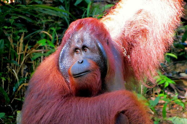 In den Rehabilitationszentren kommen Sie den Orang Utans ganz nah und können die Fütterung beobachten (Bild: Bettina Breuer)