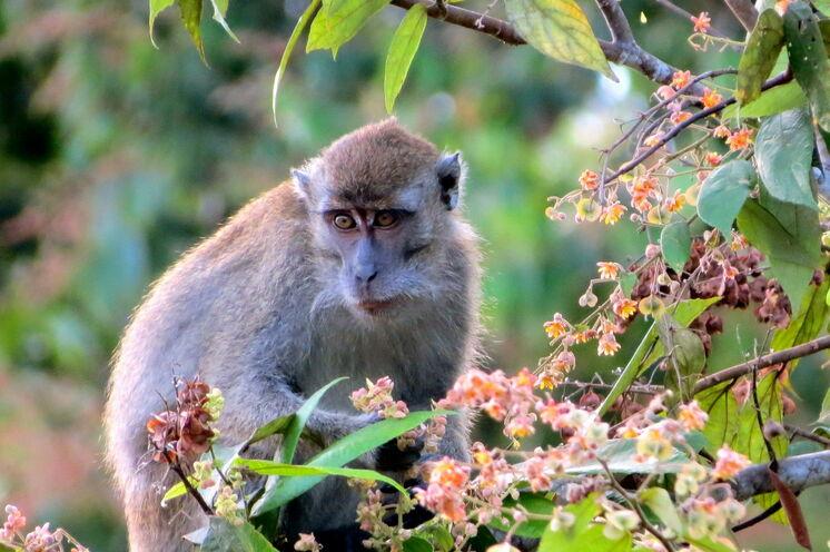 """Die Makaken werden von den Einheimischen auch als """"Mafia des Dschungels"""" betitelt. Finden Sie heraus warum! (Bild: Bettina Breuer)"""