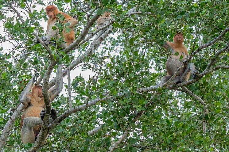 Die Nasenaffen sind auf Borneo endemisch. Die Weibchen erkennt man an ihrer niedlichen Stupsnase. Der Namensgeber ist jedoch eindeutig das Männchen. (Bild: Mondberge/Andreas Klotz)