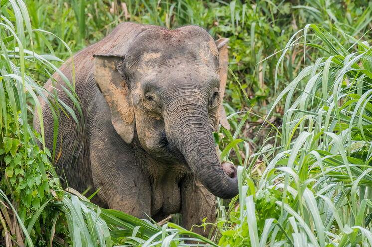 Der Pygmäen-Elefant ist die kleinste Elefantenart der Welt. Achten Sie auf das Knacken im Unterholz, um sie aufzuspüren. (Bild: Mondberge/Andreas Klotz)