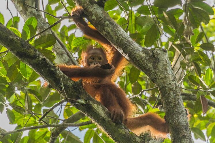 """Auf Indonesisch bedeutet """"Orang"""" Mensch und """"(h)Utan"""" steht für Wald. Das Erbgut des Orang-Utans ist zu sehr großen Teilen mit unserem identisch. (Bild: Mondberge/Andreas Klotz)"""