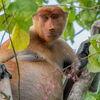 Borneo - Zu Besuch bei Orang-Utan, Nasenaffe und Zwergelefant