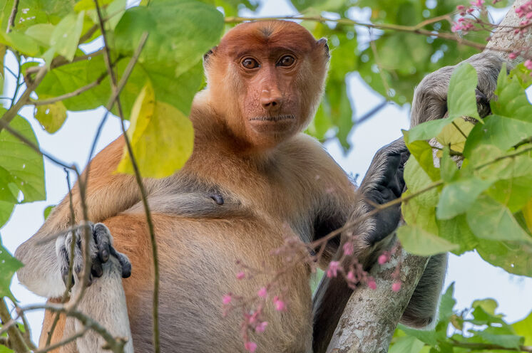"""Borneo – Heimat der Nasenaffen: Sie sind nicht nur die besten """"Schwimmer"""" unter den Primaten, sondern springen auch halsbrecherisch von Ast zu Ast (Bild: Mondberge/Andreas Klotz)"""