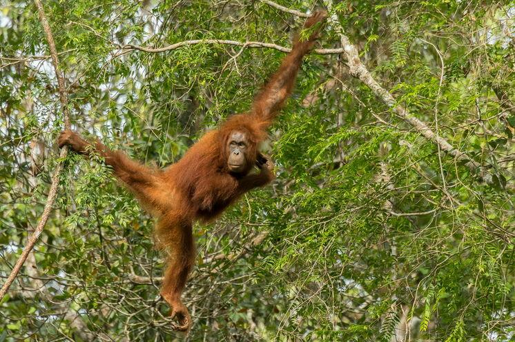Auch die liebevollen Orang Utans leben in den Regenwäldern der drittgrößten Insel der Welt (Bild: Mondberge/Andreas Klotz)