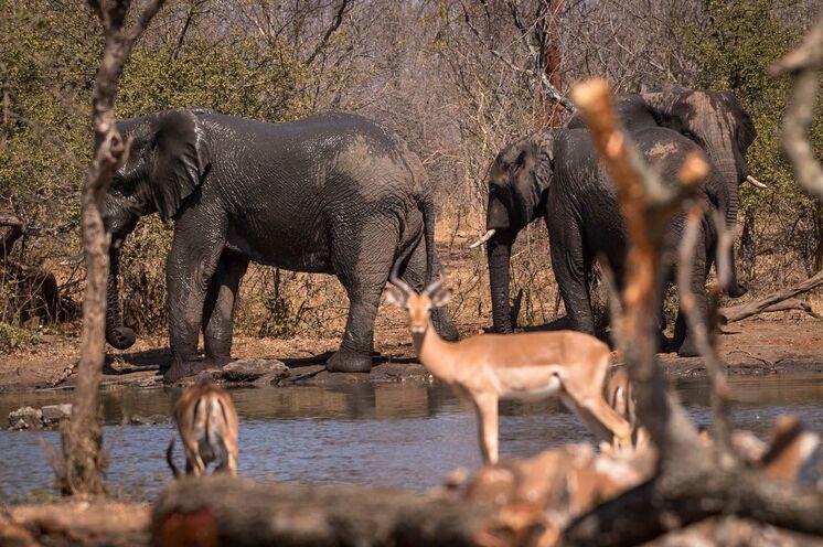 Das Reservat hat keinen Zaun zum benachbarten Krüger-Nationalpark. Viele Tiere wandern zwischen den Gebieten umher. (© Africa On Foot)