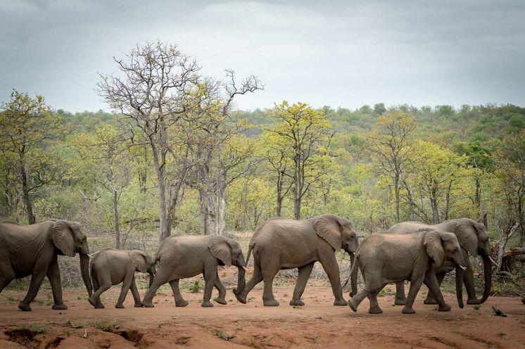 Elefanten aus nächster Nähe zu erleben ist für viele ein Highlight (© Africa On Foot)