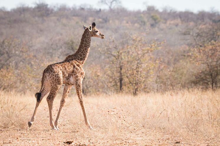 Bei einer Fußsafari kommen Sie den Tieren sehr nah (© Africa On Foot)