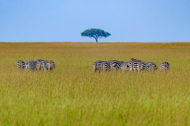 Die Weiten der Masai Mara gehören zur Serengeti. Hier findet jährlich die große Migration der Gnus statt.