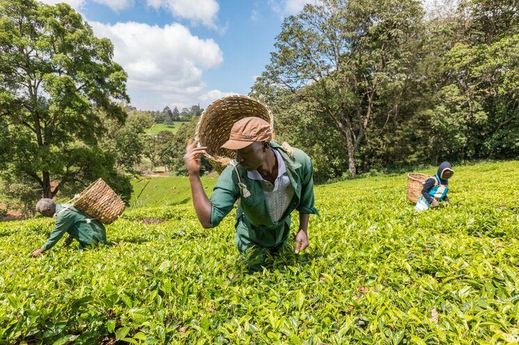 Ihre Reise beginnt mit einem Besuch einer Teefarm in der Nähe von Nairobi.