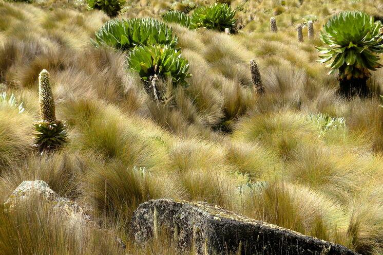 Riesenlobelien prägen die mitleren Höhenlagen (Chris Murphy, via Flickr - CC BY-ND 2.0)