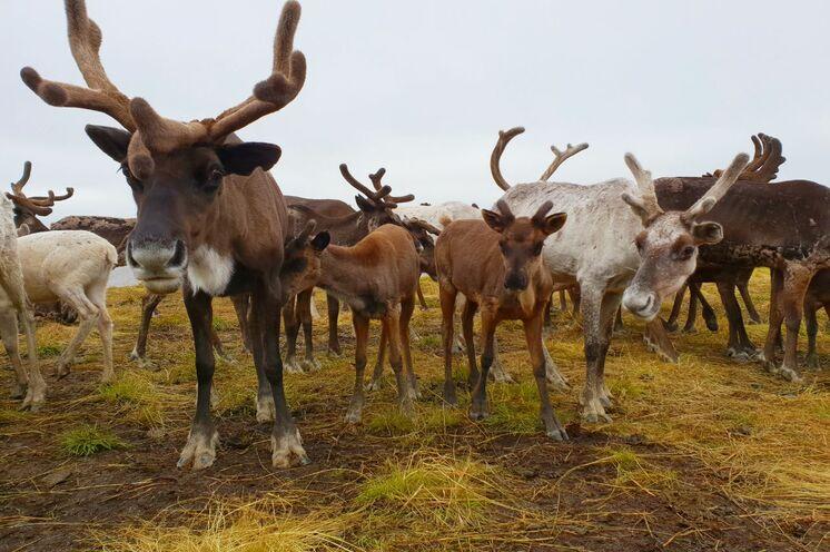 2 Tage bei Rentiernomaden in der Tundra
