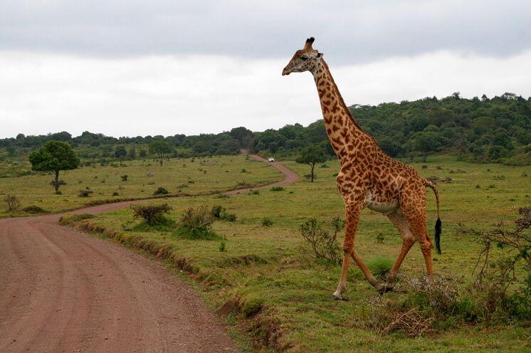 Im Arusha Nationalpark lassen sich zu jeder Tageszeit sehr gut Zebras oder Giraffen beobachten