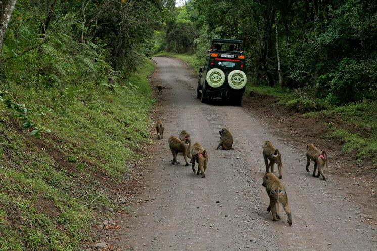 Die Anfahrt führt durch den tierreichen Arusha-Nationalpark