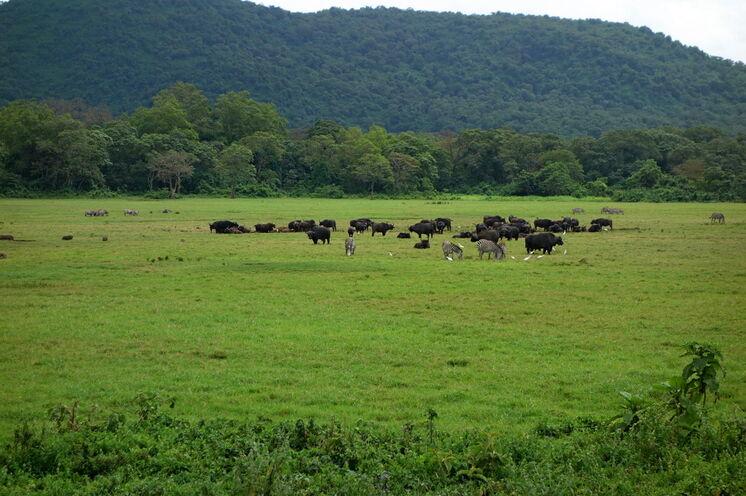 Auch Büffel und Warzenschweine halten sich dort auf