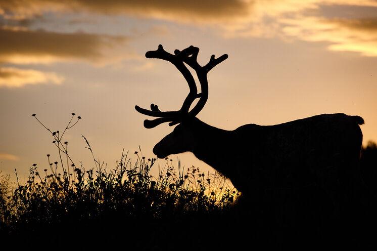 In dem 68.000 Hektar großen Schutzgebiet weiden Rentiere