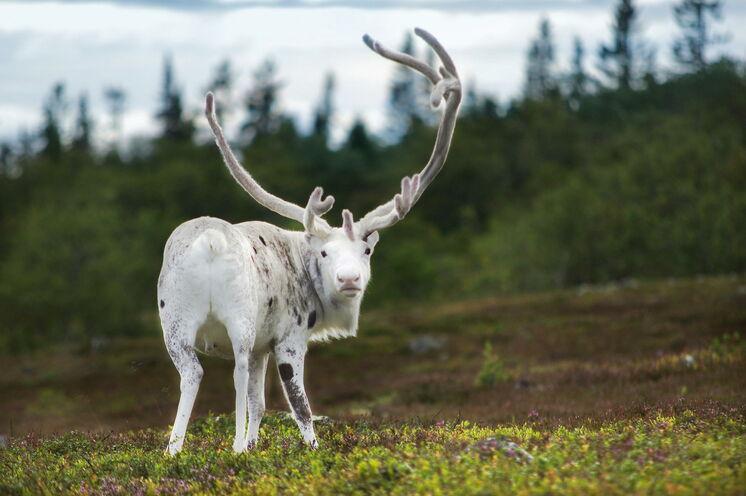 Dieses skandinavische Hochland nutzen die Sami mit ihren Rentieren traditionell als Sommerweide