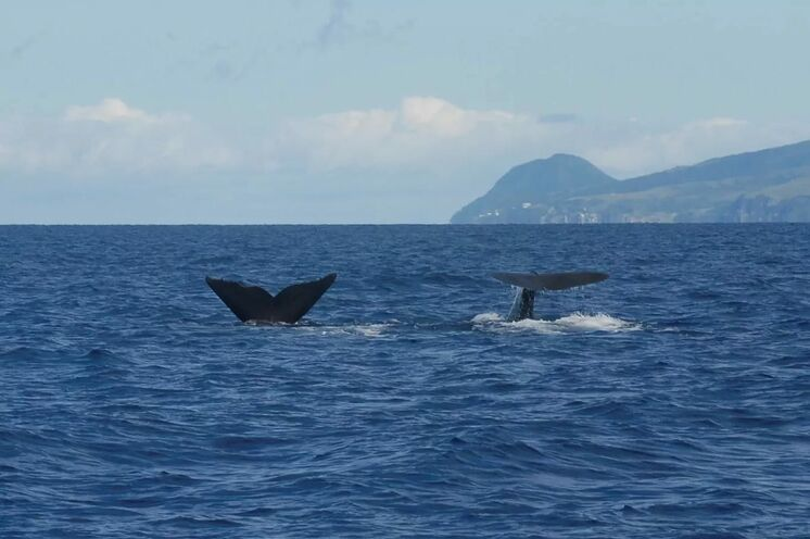 Pottwale leben ganzjährig vor Dominica und lassen sich bei einem Bootsausflug bestens beobachten