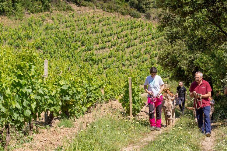 Wandern und Wein passt gut zu einander... besonders wenn es um eine alte Weinsorte handelt.