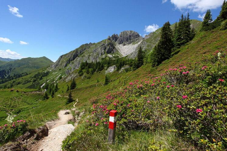Immer wieder im Frühsommer Ihre Begleiter – Alpenrosen, wohin das Auge schaut