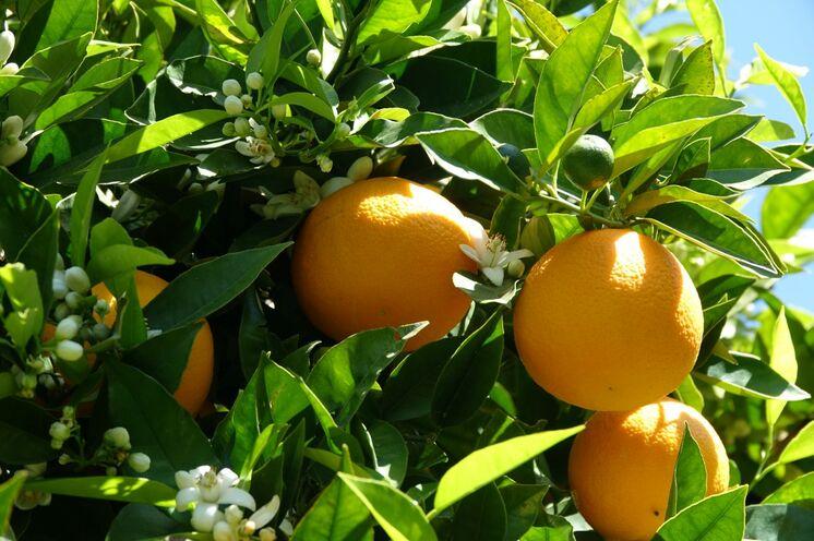 Ein besonderes Erlebnis im Frühjahr: Blüten, heranwachsende und reife, saftige Orangen... davon darf sich man auch einige beim Finca-Mittagsbesuch pflücken...