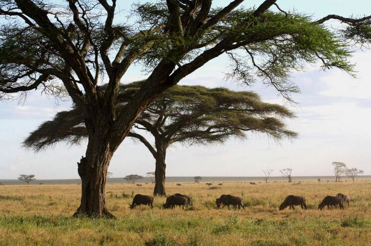 Typische Afrikakulisse in der Serengeti