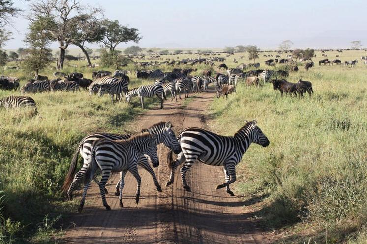 Im Frühjahr ist zur Zeit der Großen Wanderung ordentlich Verkehr in der Serengeti.