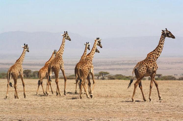 Giraffen traben anmutig in der Landschaft umher.