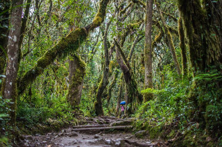 Auf der Machame Route führt Sie Ihr Weg durch dichten Bergregenwald