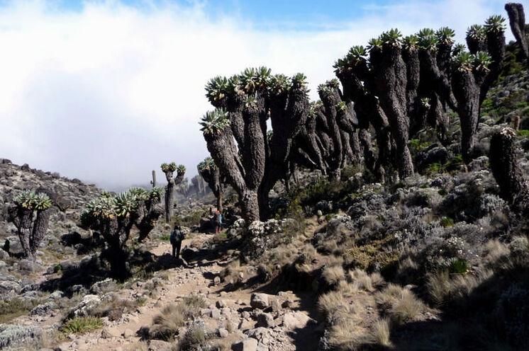 Jede Route hat ihre Reize - hier der große Senecienwald auf der Machame Route.