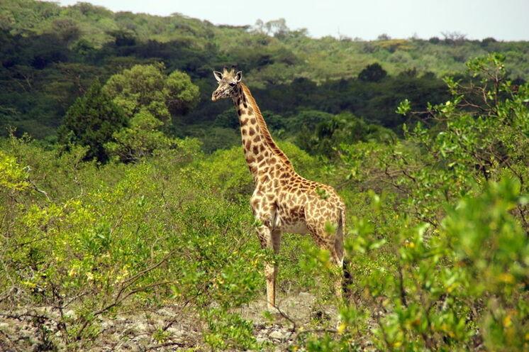 Ebenso sind im Park rund um den Berg viele Giraffen anzutreffen.