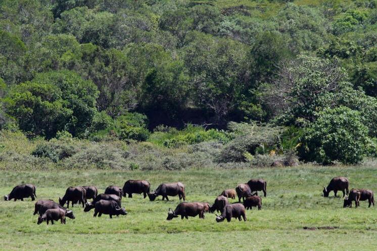In den Ebenen des Nationalpars halten sich Kaffernbüffelherden auf.