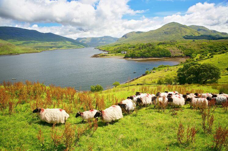 Ein Wandertraum am Killary Harbour: Heide und Moor, blühende Wiesen und Schafe ohne Ende