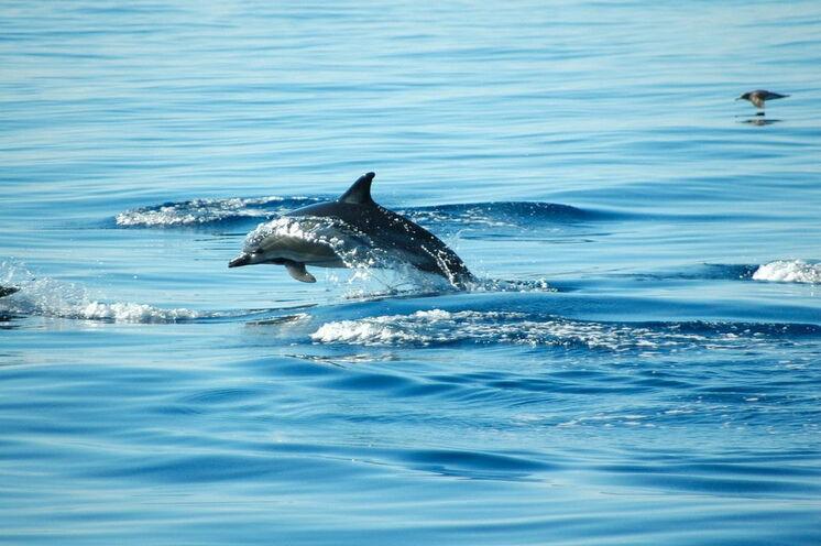 Delfine vor der Küste von Sal