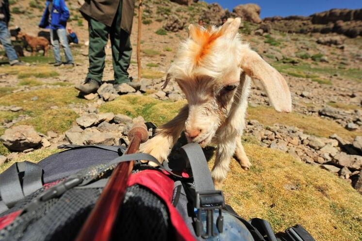Keine Angst, die neugierigen Berber-Zicklein fressen das Wandergerpäck in der Regel nicht auf. ;-)