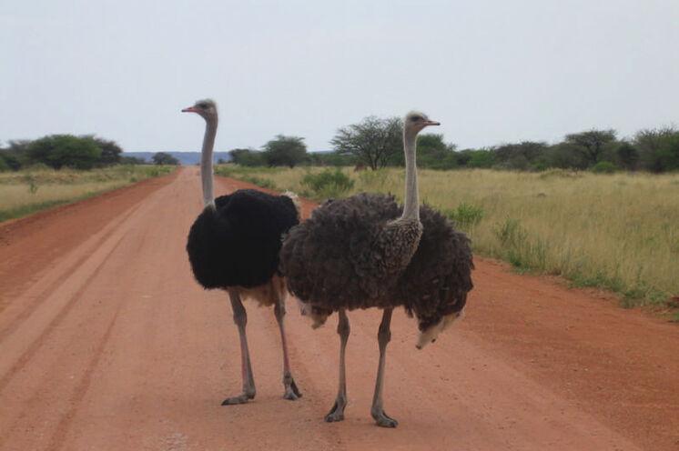 Achtung Gegenverkehr! Typisch für Namibia: die rotsandigen Schotterpisten.