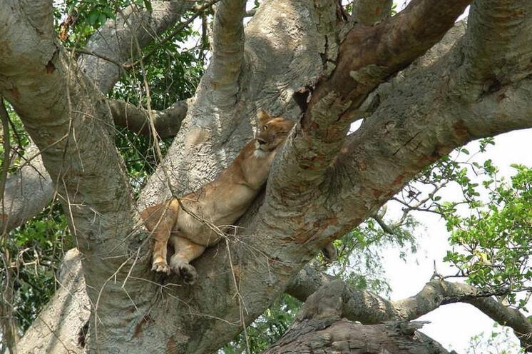 Bei den Baumlöwen - ein kurioser und seltener Anblick.