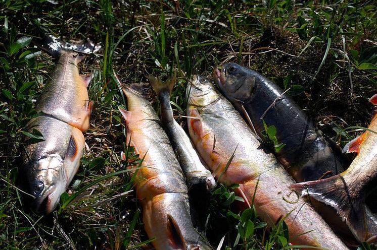 Mutter Natur ist nicht geizig und spendiert heute Abend leckere Lachsforellen...